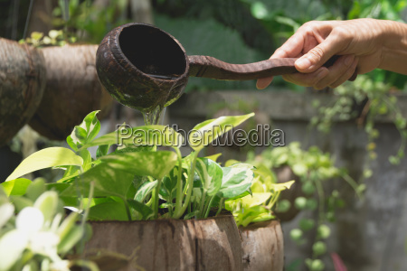 pouring a young plant from watering