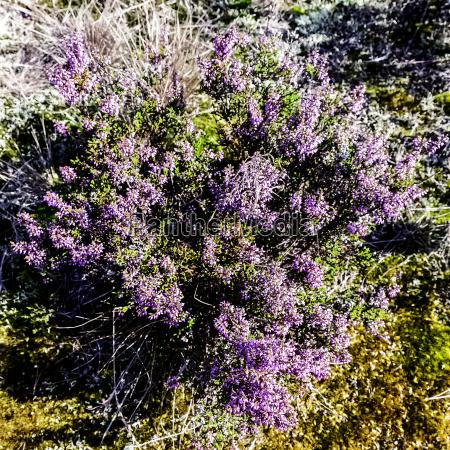 lila veilchen violett purpur gemein heidekraut
