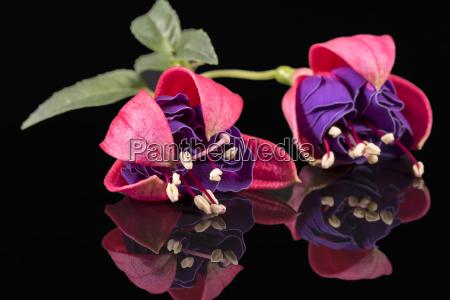 flower von fuchsia auf schwarzem hintergrund