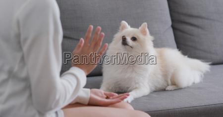 frau trainiert pommerschen hund zu hause