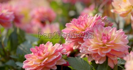 beautiful dahlia flower field