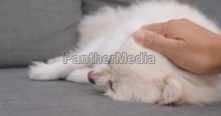 tierbesitzer spielen mit pommerschen hund zu