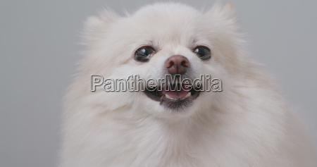 wuetende weisse pommersche hunde