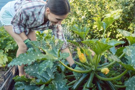 woman in her garden harvesting cucumbers