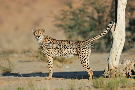 maennlicher geparden kennzeichnet gebiet