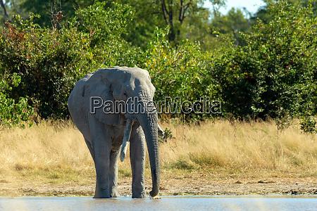 afrikanischer elefant auf wasserloch afrika safari