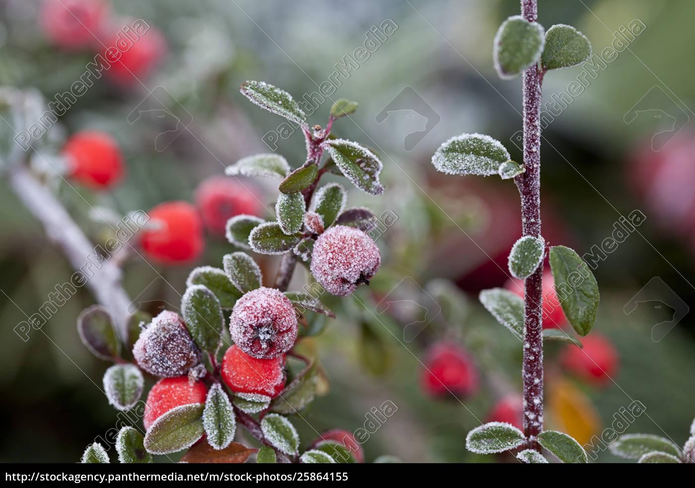rote, winterbeeren - 25864155
