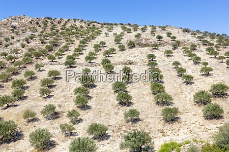 olivenbaumplantage auf der insel kreta griechenland