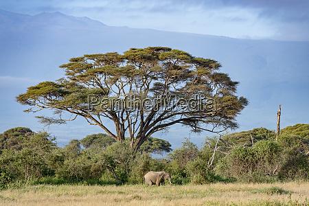 kenia amboseli elefant 5464