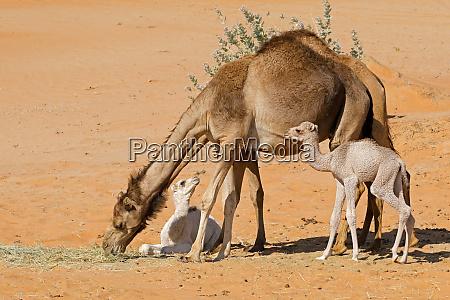 tier kamel klein duenn gering irrelevant