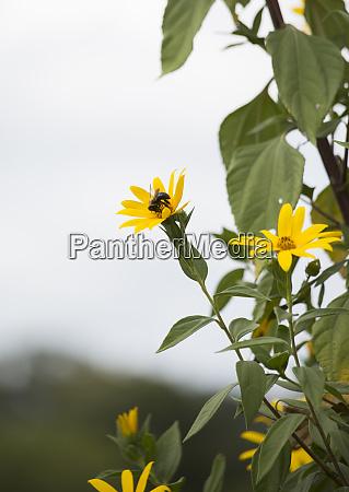 zimmerer biene auf sonnenblume