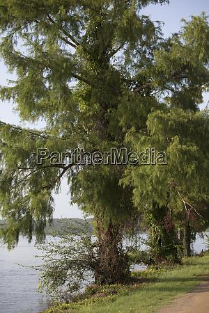 zypressenbaum am see