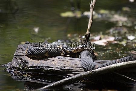 umwelt tier reptil wildlife schlange herpetologie