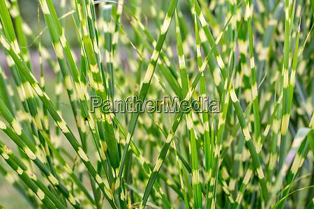 hintergrund miscanthus gruen silber gras