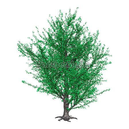 3d rendering poplar tree on white