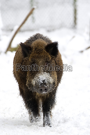 wildschwein, im, winter, - 25917666
