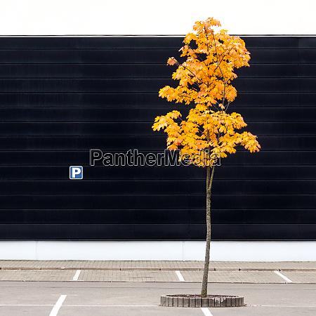 leerer parkplatz mit einsamem jungen ahornbaum