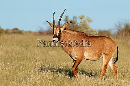 roan antelope in natural habitat