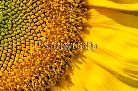 blick auf die sonnenblume