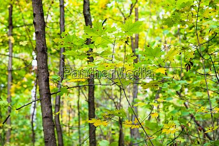 zweige mit gruenen und gelben ahornblaettern