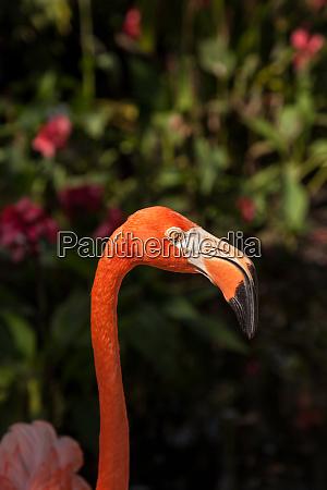karibik flamingo phoenicopterus ruber in einem