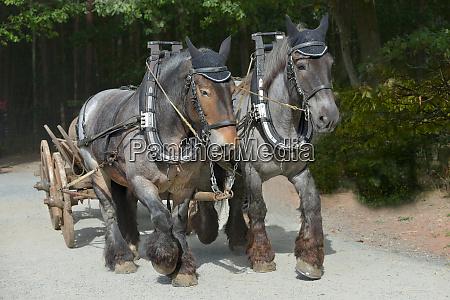 zwei pferde team