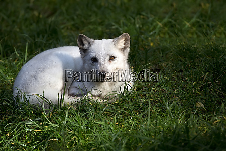 silver fox resting in the wild