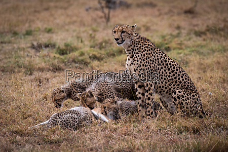 cheetah sits watching cubs eat thomson