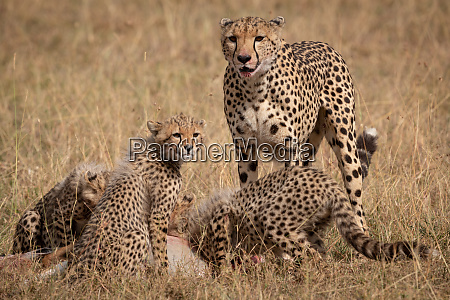 cheetah stands as cubs eat thomson