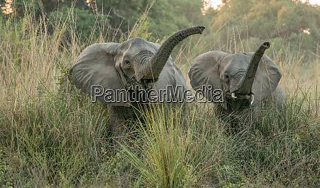 roaring dschungel elefanten im unteren zambezi