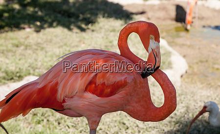 flamingo rosa flamingo karibische nflamingo phoenicopterus