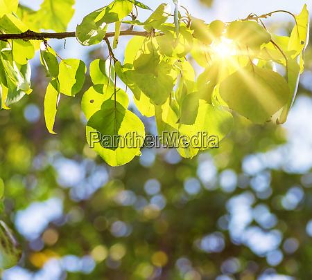 aprikosenbaumzweig in gruenen blaettern in den