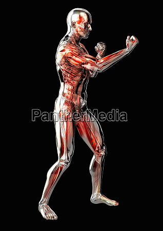 maennliche anatomische modell in kampfhaltung auf