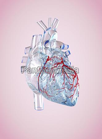 transparent anatomical model of the human