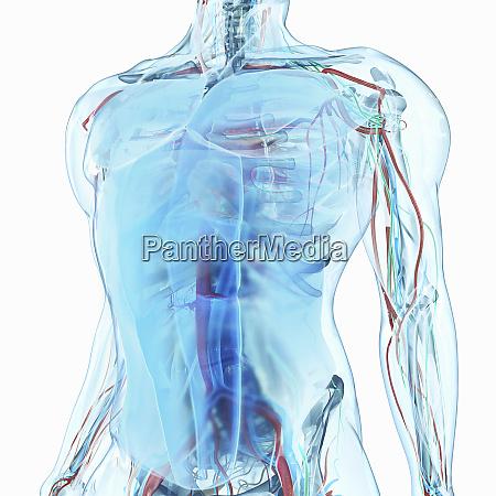 human male anatomical model of torso