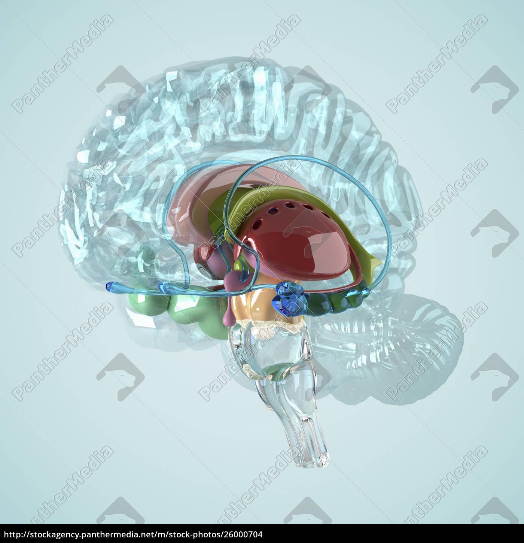 biomedizinische, illustration, des, menschlichen, gehirns - 26000704