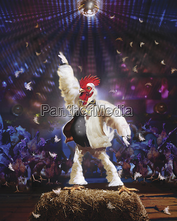 chicken dancing on hay bale in