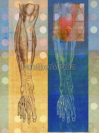 anatomical illustration of human leg with