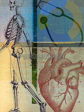 anatomische darstellung des menschlichen skeletts und
