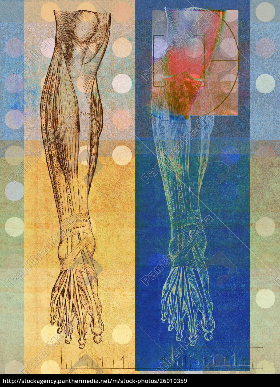 anatomische, darstellung, des, menschlichen, beines, mit - 26010359