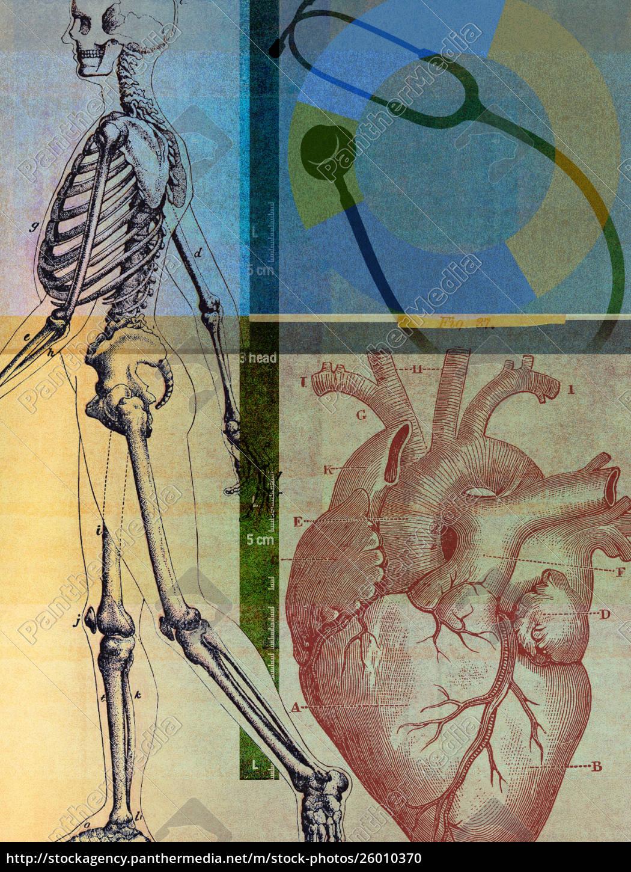 anatomische, darstellung, des, menschlichen, skeletts, und - 26010370