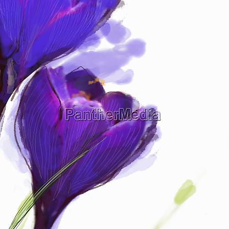 close up of purple crocus