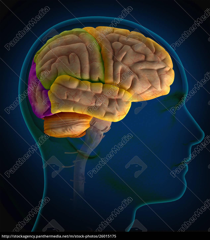 computer, generiert, biomedizinische, illustration, der, lobbys - 26015175