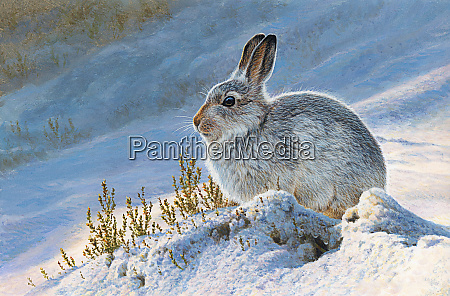 mountain hare lepus timidus in snow