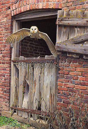 barn owl flying out of dilapidated