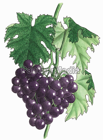 bunch of purple grapes