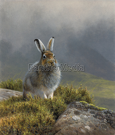 mountain hare in upland landscape