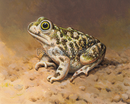 close up of couchs spadefoot toad