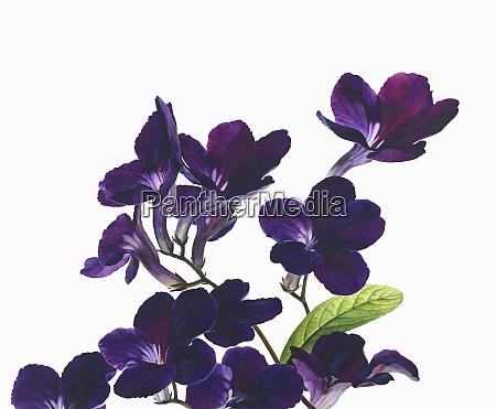 flower stems of purple streptocarpus cape