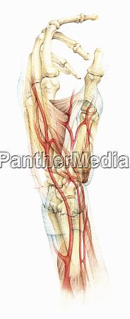 biomedizinische illustration der knochen muskeln und